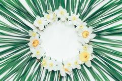 花水仙花卉圆的框架在绿色背景的离开与文本的白色空间 图库摄影
