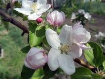 花 苹果美好的例证结构树向量 免版税库存照片