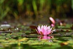 花 水表面上的美丽的开花的荷花 自然五颜六色的被弄脏的背景 星莲属 库存照片