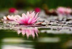 花 水表面上的美丽的开花的荷花 自然五颜六色的被弄脏的背景 星莲属 免版税库存图片