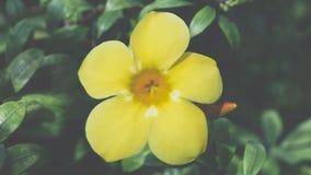 花(黄蔓,金喇叭) 免版税库存照片