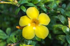 花(黄蔓,金喇叭) 图库摄影
