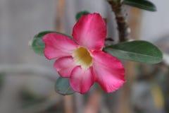 花Adenium红颜色绽放 库存图片