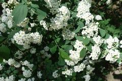 花Corymbs在绣线菊类的植物vanhouttei leafage的在春天 库存图片