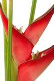 花heliconia红色 免版税图库摄影