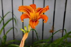 花hemerocalle,萱草属植物 库存照片