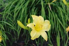 花hemerocalle,萱草属植物citrina 免版税图库摄影