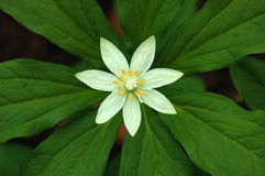 花japonica巴黎 库存照片