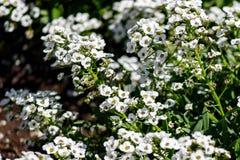 花lobularia maritima同步符特写镜头  香雪球maritimum、共同的名字香雪球或者甜艾莉森,药用植物 免版税库存照片
