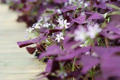 花Oxalis triangularis (紫色三叶草) 免版税图库摄影