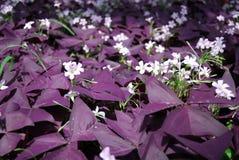 花Oxalis triangularis (紫色三叶草) 免版税库存图片