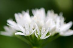花Ramsons (葱属ursinum)特写镜头  图库摄影