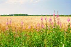 花rosebay柳草或野草 反对蓝天的金成熟麦子或黑麦耳朵 夏天星期天 典型欧洲牧人 免版税库存图片