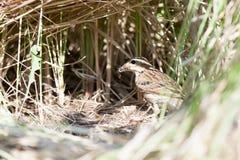 花trivialis 树田云雀之类的巢本质上 库存照片