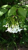 花whiteflower自然庭院绿色亚洲 库存图片