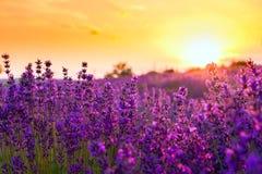 芳香域草本横向淡紫色工厂 免版税图库摄影