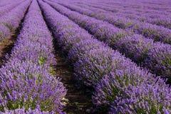芳香域草本横向淡紫色工厂 免版税库存照片