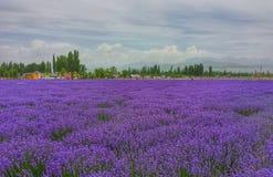 芳香域草本横向淡紫色工厂 库存图片