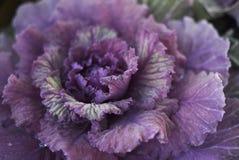 芸苔植物 库存照片