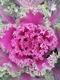 芸苔,装饰植物以与紫色的绿色,种植类似于一棵莴苣 免版税库存照片