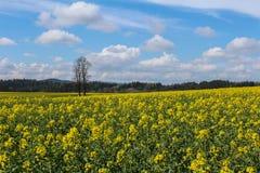 芸苔napus的领域与树和天空的 捷克横向 库存照片