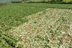 芸苔rapa子空间 pekinensis,被收获的菜 免版税库存图片