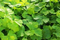 芹菜是一棵菜在水耕的农场。 免版税库存图片