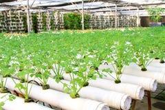 芹菜耕种在种植园,中国 免版税库存照片