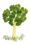 芹菜荷兰芹结构树 免版税库存照片