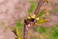 芽和年轻人在樱桃树树干特写镜头离开 详述结构树 选择聚焦 你好4月 库存图片