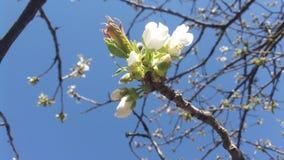 芽和白花 免版税库存照片