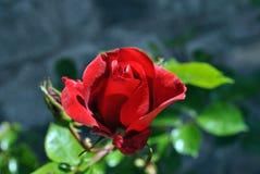 芽唯一红色的玫瑰 免版税库存图片