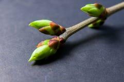 芽在灰色的膨胀背景 从右上角的枝杈 免版税库存图片