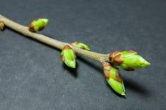芽在灰色的膨胀背景 从最左上侧角落的枝杈 免版税图库摄影