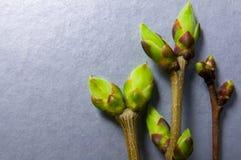 芽在银色的膨胀背景 三根枝杈特写镜头 免版税库存照片
