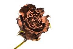 芽干燥查出的红色玫瑰白色 背景查出的白色 图库摄影