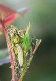 芽幼虫上升了 图库摄影
