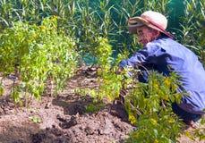 芽庄市,省可汗Khoa,越南, 2017年6月09日:年长越南人种植了热带植物幼木  库存图片