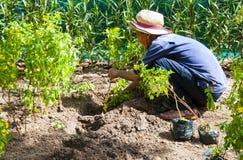 芽庄市,省可汗Khoa,越南, 2017年6月09日:年长越南人种植了热带植物幼木  库存照片