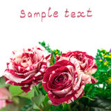 芽开花红色玫瑰充满活力的白色 库存照片