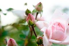 芽接近桃红色玫瑰色  图库摄影