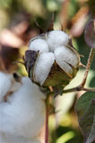 芽棉花 库存图片