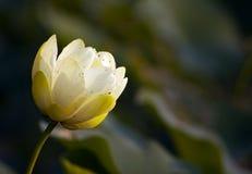 芽水平的百合星莲属odorata水 免版税图库摄影
