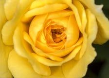 芽玫瑰黄色花关闭 库存照片