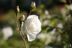 芽白玫瑰 免版税库存图片
