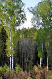 芽的桦树树丛 图库摄影