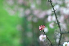 芽的特写镜头在一棵开花的树的 库存图片