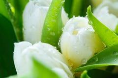 芽看法特写镜头在白色郁金香的 免版税库存照片