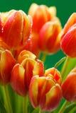 芽看法特写镜头在红色郁金香的 免版税库存图片