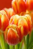 芽看法特写镜头在红色郁金香的 免版税图库摄影